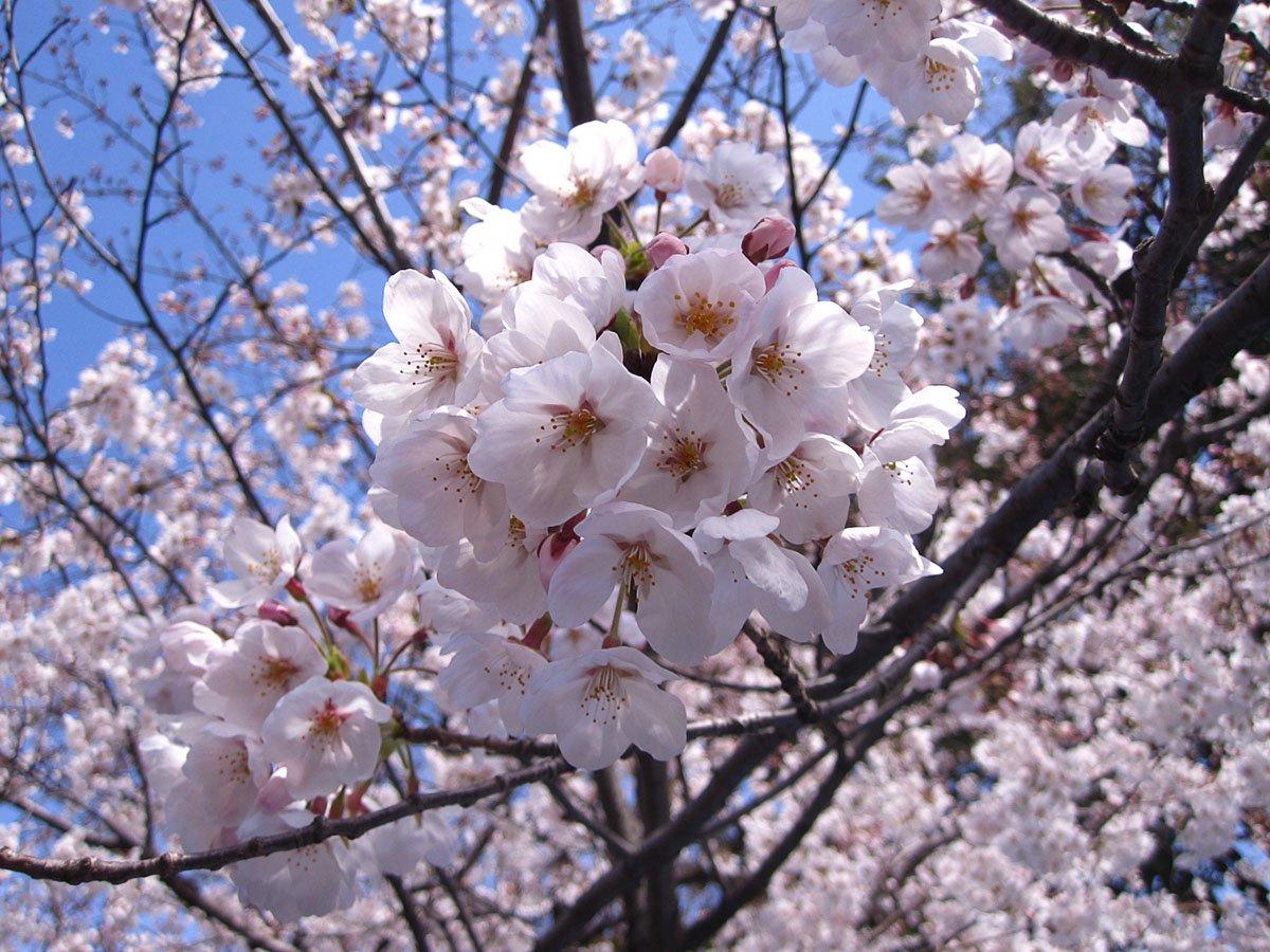 sakura in japan • The Petite Wanderess