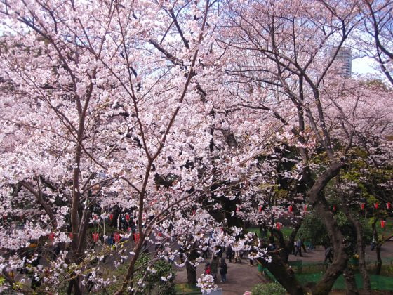sakura in japan • The Petite Wanderess