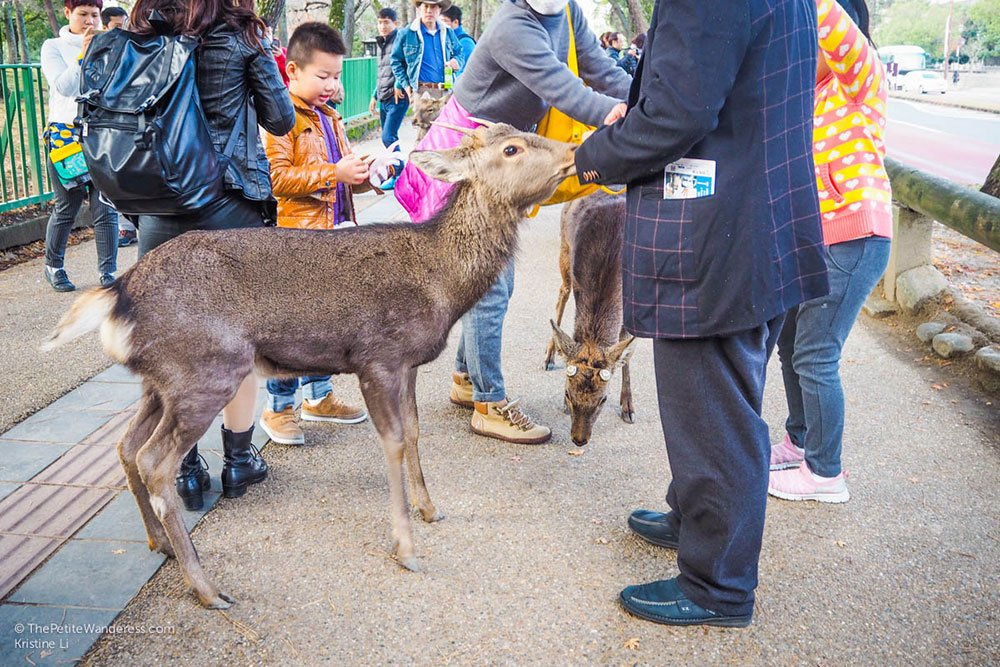 deer and tourists | Nara Day Trip from Kyoto • The Petite Wanderess