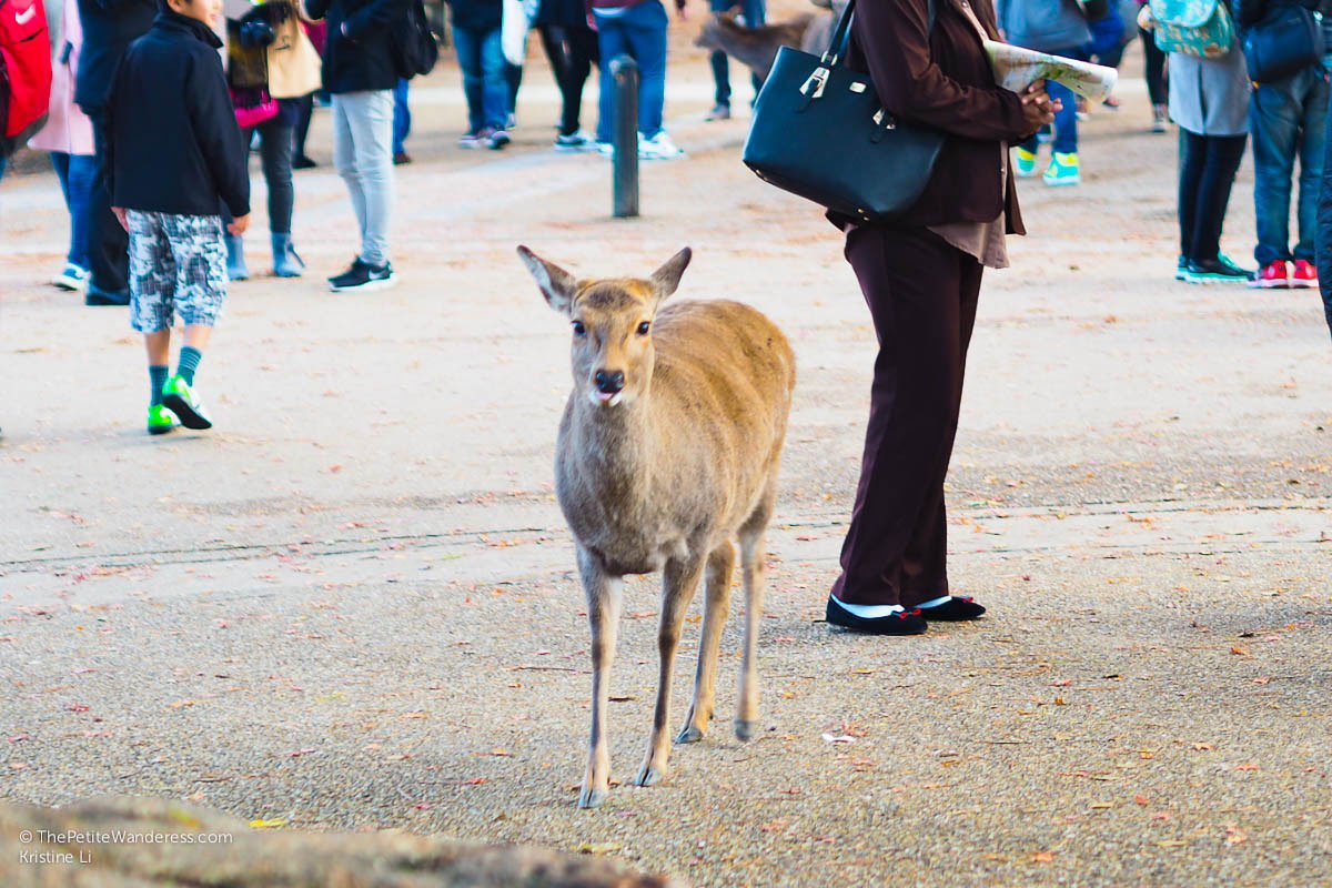 staring deer | Nara Day Trip from Kyoto • The Petite Wanderess