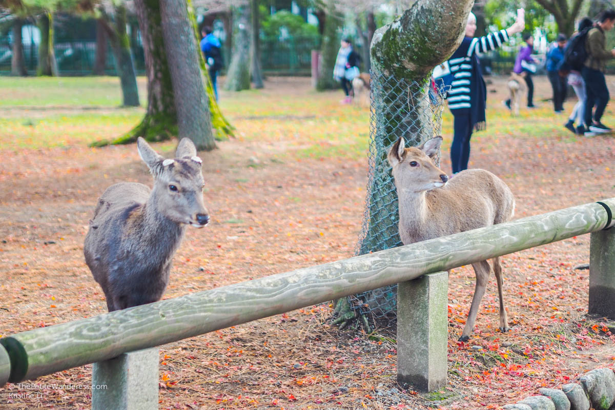 deer at Nara Park | Nara Day Trip from Kyoto • The Petite Wanderess