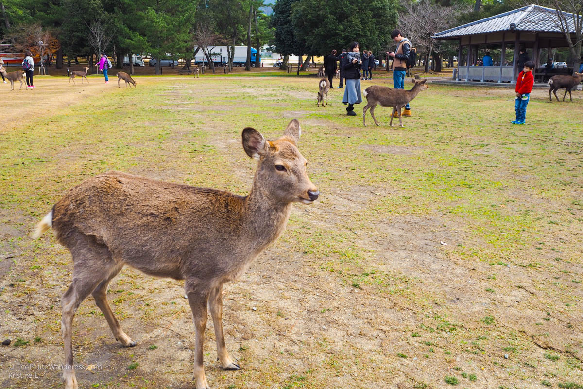 hungry deer | Nara Day Trip from Kyoto • The Petite Wanderess