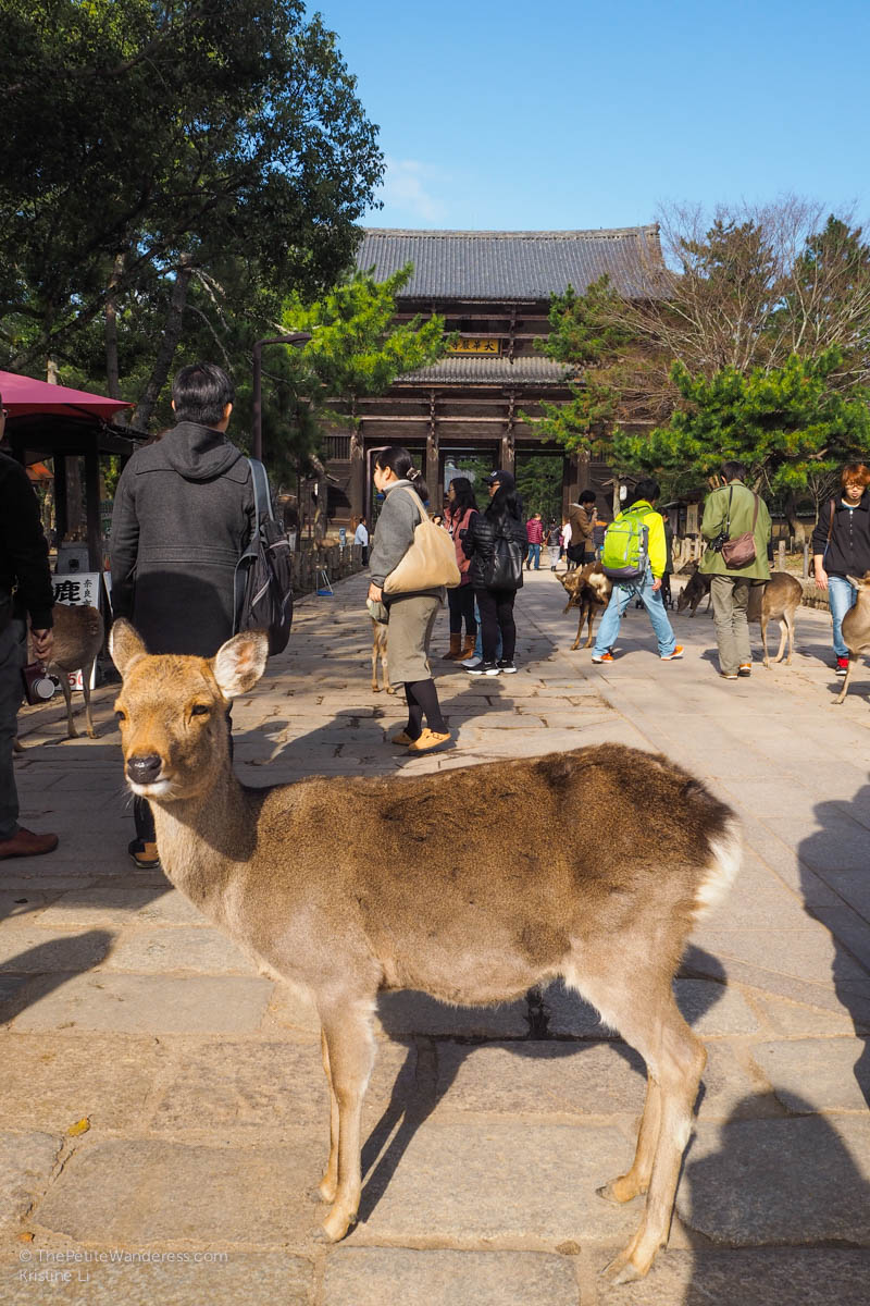 deer outside temple | Nara Day Trip from Kyoto • The Petite Wanderess