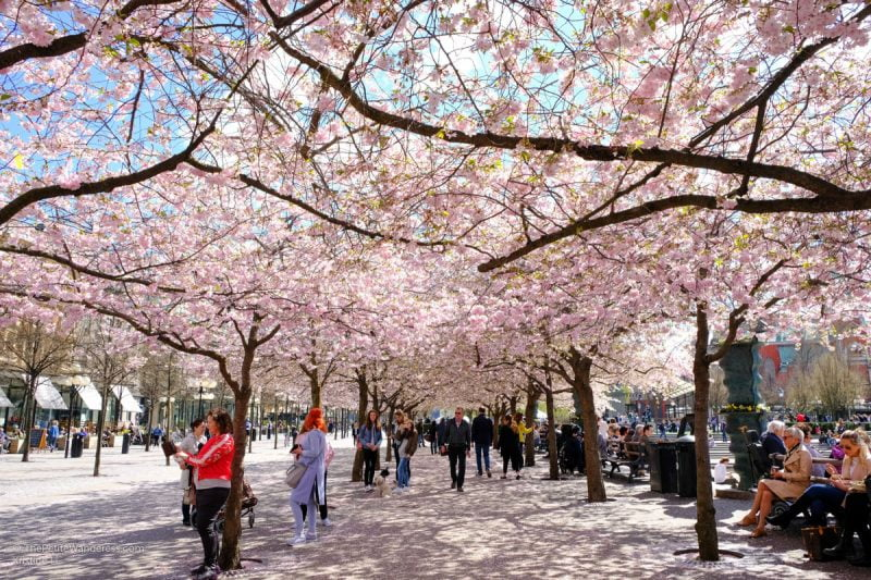 cherry blossoms | Stockholm in 48 Hours • The Petite Wanderess