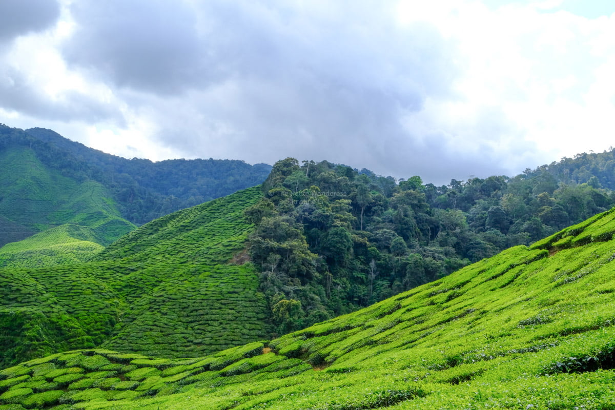 High up in the mountains of Malaysia: Cameron Highlands! • The Petite Wanderess
