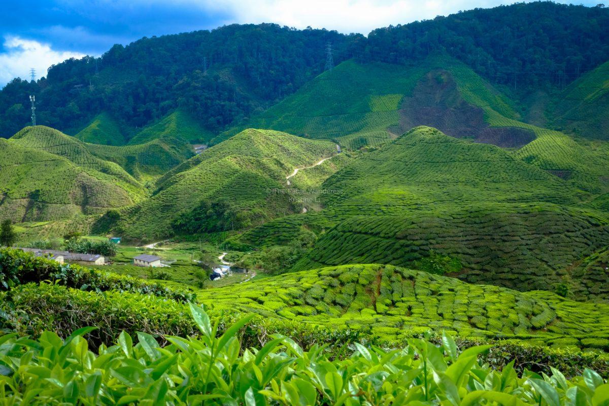 tea plantation at Cameron Highlands, Malaysia • The Petite Wanderess