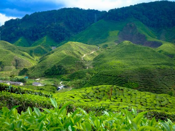 tea plantation at Cameron Highlands, Malaysia • The Petite Wanderess