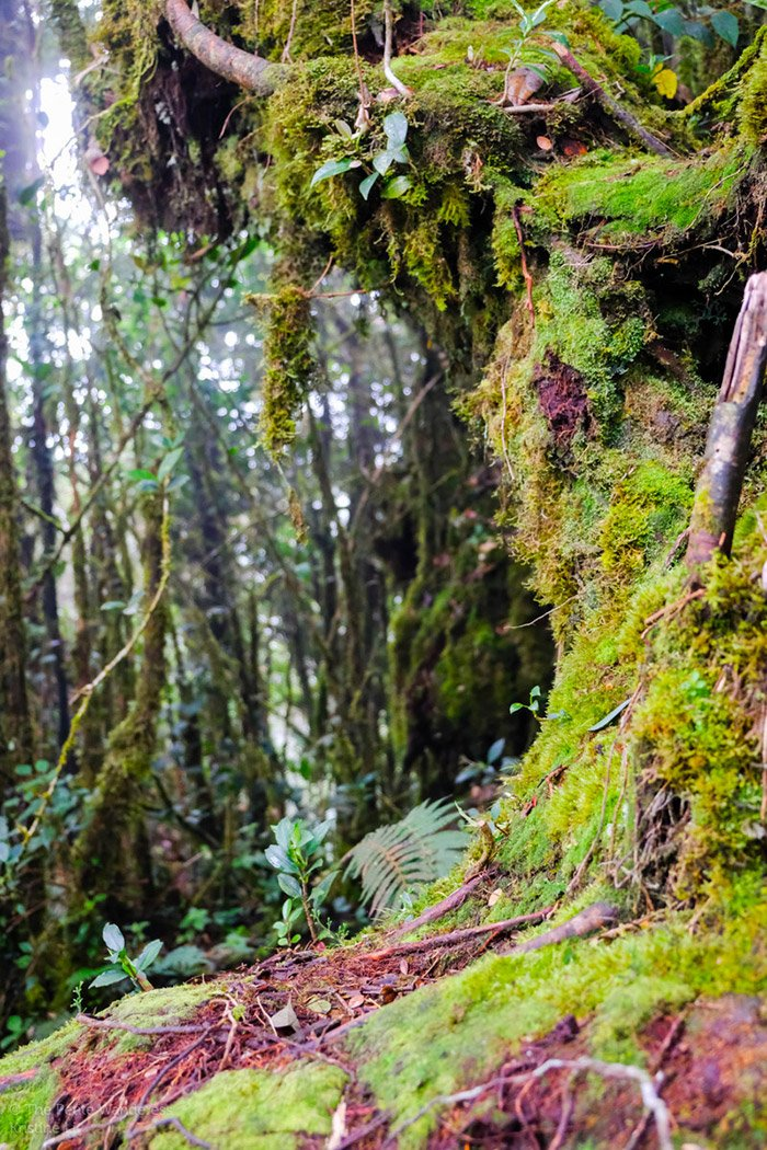 Mossy Forest, Cameron Highlands, Malaysia • The Petite Wanderess