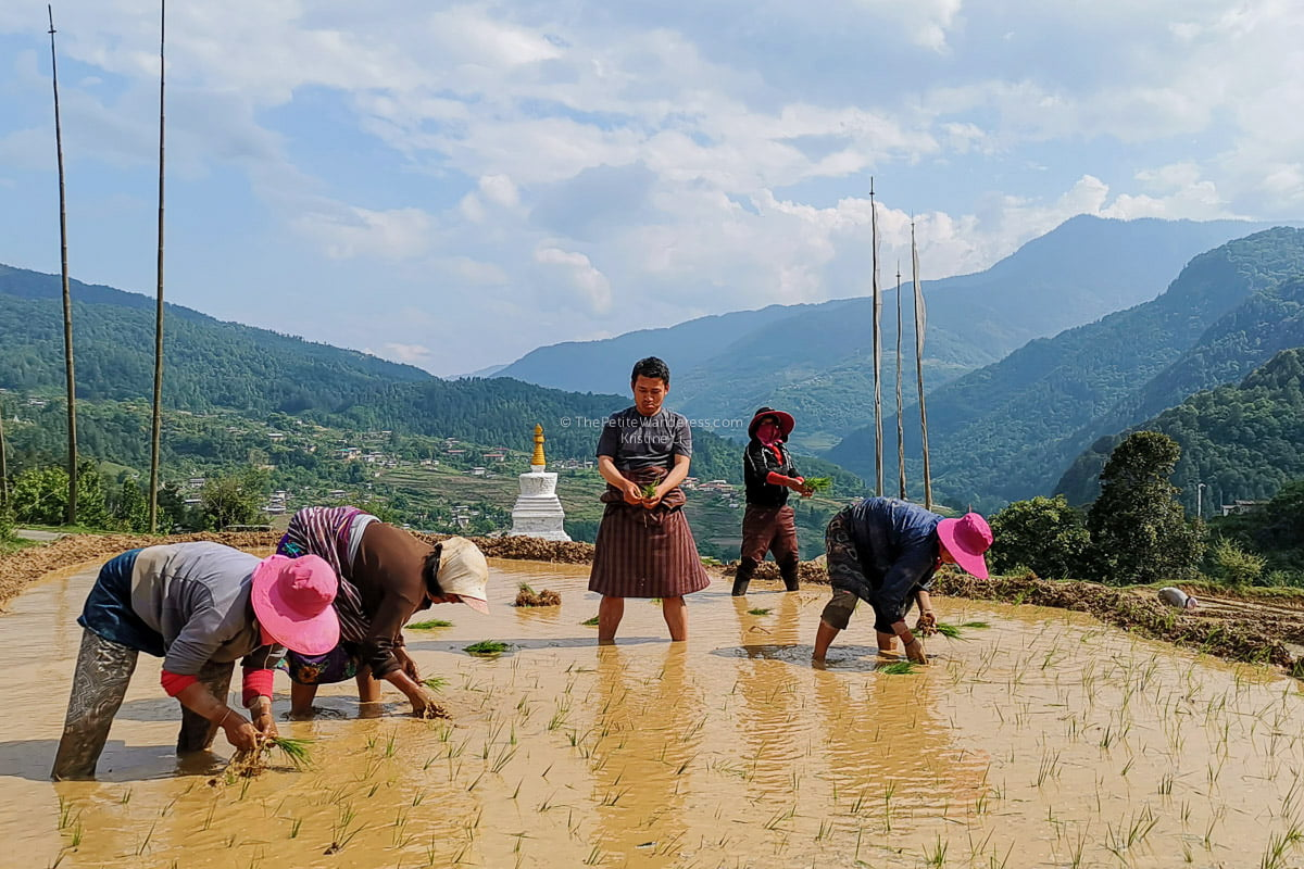 planting rice | Lessons on Love & Wisdom Learned from Bhutan's People and Culture • The Petite Wanderess