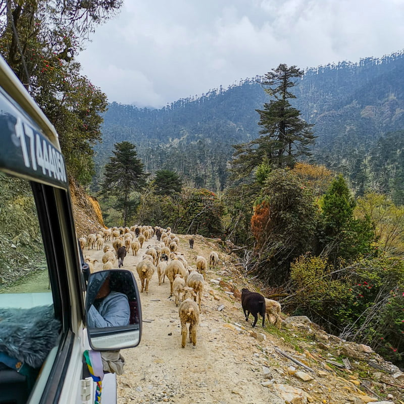 sheep | Eastern Bhutan road trip photos • The Petite Wanderess