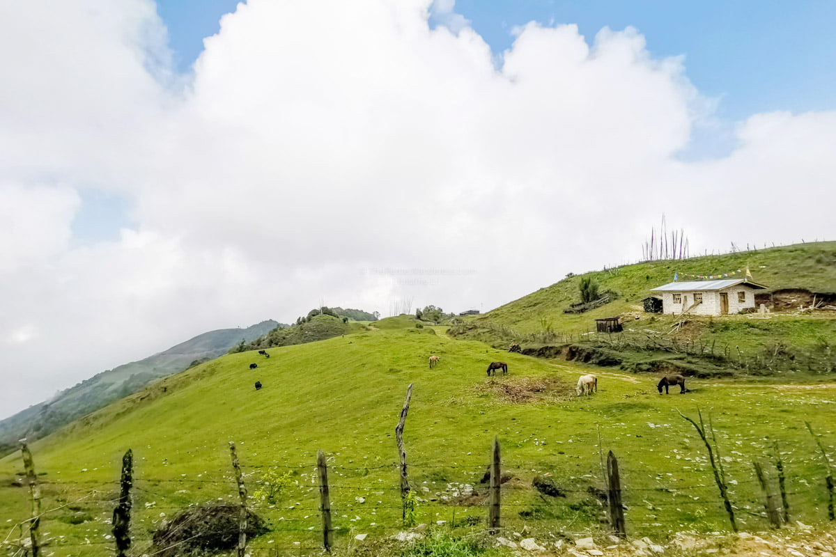 grazing animals | Eastern Bhutan road trip photos • The Petite Wanderess