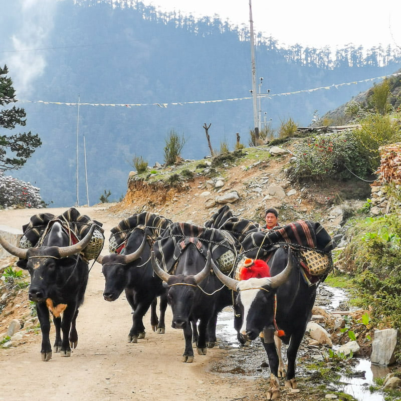 yaks heading home | Eastern Bhutan road trip photos • The Petite Wanderess