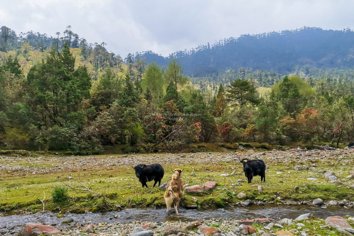 Yaks | Eastern Bhutan road trip photos • The Petite Wanderess